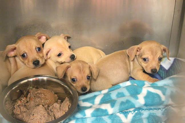 chiweenie puppies shelter pic