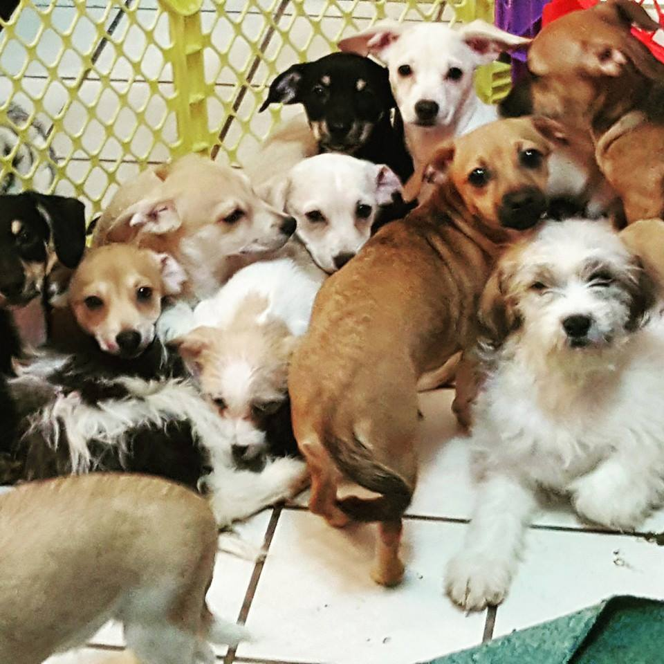terrier mix litter