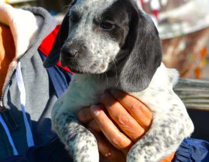 Adorable Hound Puppies for Adoption!