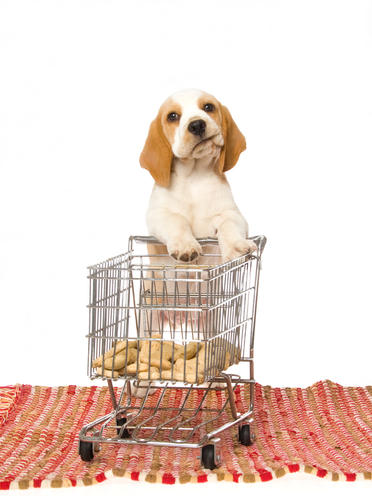 Cute beagle puppy with mini shopping cart, on white background